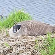 Nesting Goose Art Print