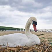 Nesting Mute Swan At Abbotsbury Art Print