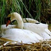 Nesting Swans Art Print