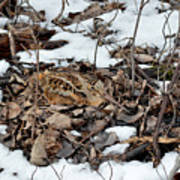 Nesting Woodcock She Survived Her Eggs From The Snow Art Print