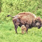 New Born Bison Art Print
