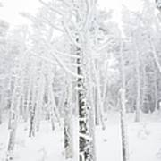New England - Snow Covered Forest Art Print