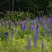 New Hampshire Lupines Art Print