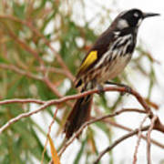 New Holland Honey-eater Art Print