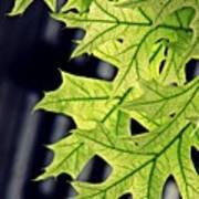 New Oak Leaves    Art Print
