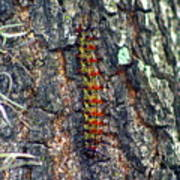 New Orleans Buck Moth Caterpillar Art Print