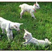 Newborn Goats Art Print