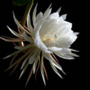 Night-blooming Cereus 1 Art Print by Warren Sarle