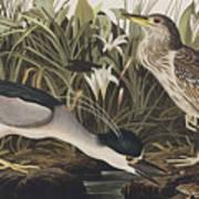 Night Heron Or Qua Bird Art Print