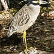 Night Heron Standing On A Rock In Key West Art Print