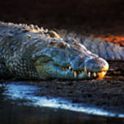 Nile Crocodile On Riverbank-1 Art Print