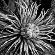 Niobe Clematis Study In Black And White Art Print