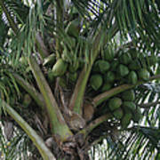 Niu Ola Hiki Coconut Palm Art Print