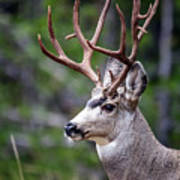 Non-typical Mule Deer Buck Portrait. Art Print
