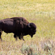 North American Bison- Buffalo In Field  Art Print