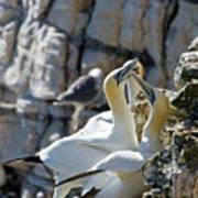 North Atlantic Gannets Art Print