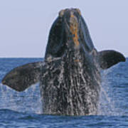 North Atlantic Right Whale Breaching Art Print by Tony Beck