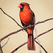 Northern Cardinal Profile Art Print
