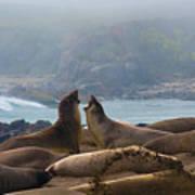 Northern Elephant Seals Mirounga Angustirostris Art Print
