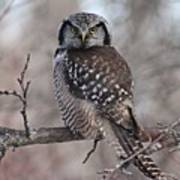 Northern Hawk Owl 9470 Art Print