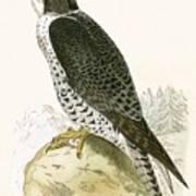 Norwegian Jer Falcon Art Print