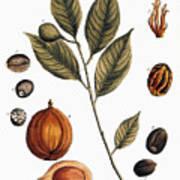 Nutmeg, 1735 Art Print