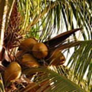 Nuts On Tree  Art Print