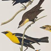 Nuttall's Starling Yellow-headed Troopial Bullock's Oriole Art Print