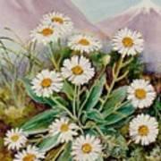 Nz Mountain Daisy Art Print