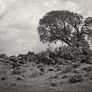 Oak In Rock Field Art Print