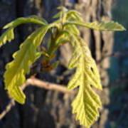 Oak Leaves In May Dawn Light Art Print