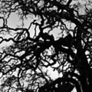 Oak Tree In Winter Detail - Amador County, California Art Print