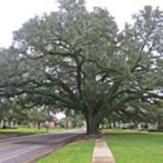 Oak  Tree  Jennings  Louisiana Art Print