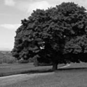 Oak Tree - Killarney National Park Art Print