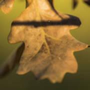 Oak Tree Leaf Art Print