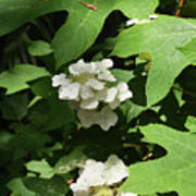 Oakleaf Hydrangea Floral Art Print