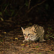 Ocelot Crouching At Night Looking For Food Art Print