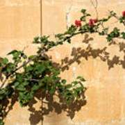 Of Light And Shadow - Bougainvillea On A Timeworn Plaster Wall Art Print