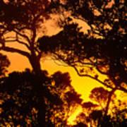 Ohia Trees At Sunset Art Print
