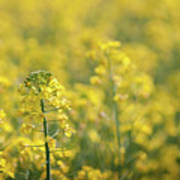 Oilseed Rape Art Print