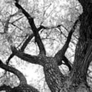 Old Cottonwood Tree Art Print