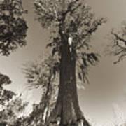 Old Cypress Tree Art Print