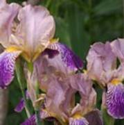 Old-fashioned Iris Art Print