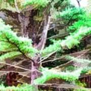 Old Pine Tree Art Print