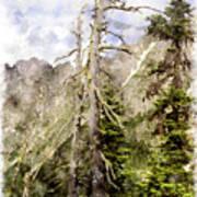Old Pines Cascades Wc Art Print