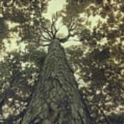 Old Sugar Maple Tree Art Print