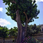 Old Tree In Palermo Art Print