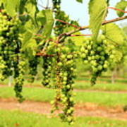 Old York Winery Grapes Art Print