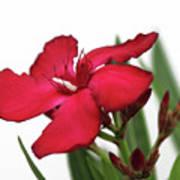 Oleander Blood-red Velvet 2 Art Print