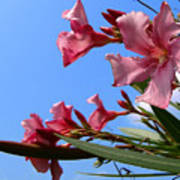Oleander Flowers Wilting In The Brutal Florida Sun  Art Print